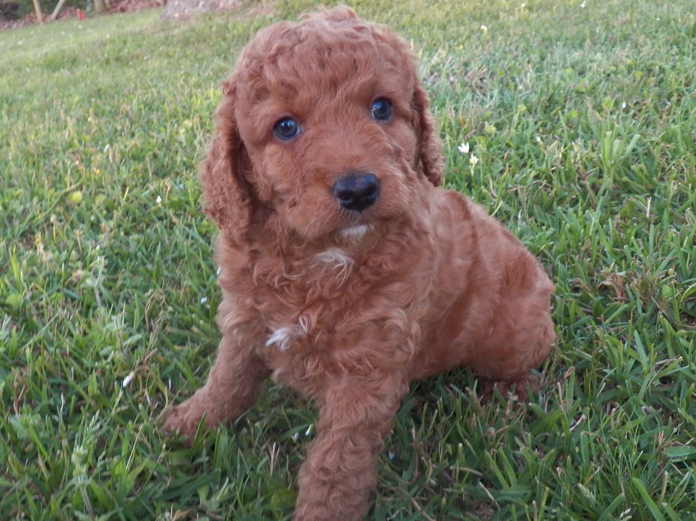 Goldendoodle California